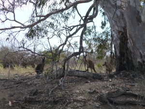 Kangaroos grazing contentedly on the banks of the LIndsay.